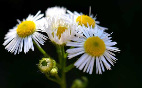 white, daisies, daisy