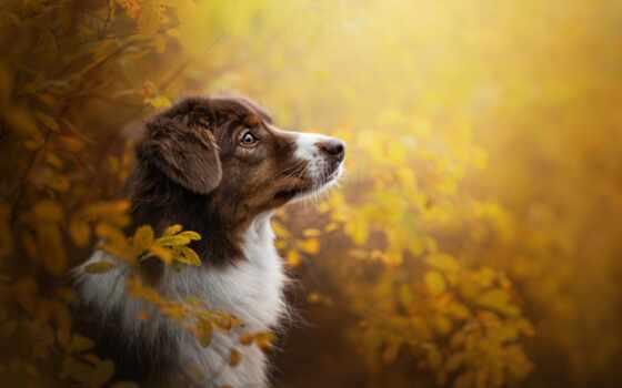 собака, красивый, категория, морда, осень, animal