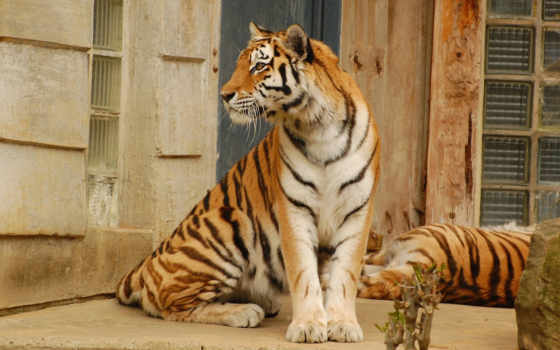 тигр, хищник