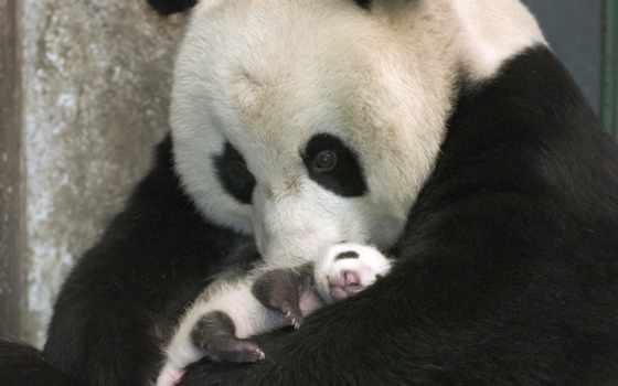 панда, заботливый, добавить, best,