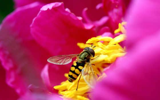 пчелка, цветке, макро, розовый, цветы, насекомые, лепестки,