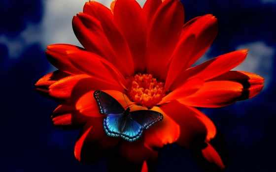 бабочка, цветы, blue, оранжевый, red, flowers,