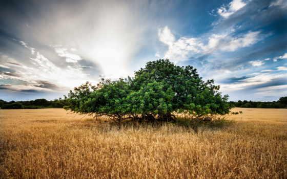 поле, дерево, trees, природа, corn, desktop, landscape, поля,