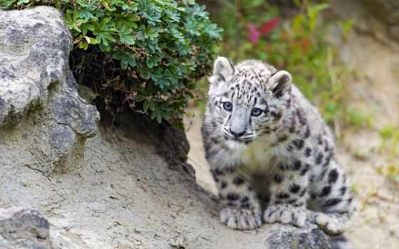снег, леопард, барса, ирбис, снежного, fund, природы, дикой, world, барсов, снежных,