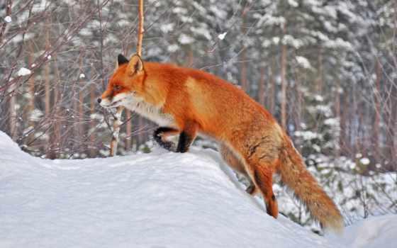 животные, фокс, категория Фон № 58080 разрешение 1920x1080