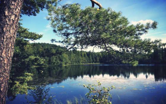 branch, сосны, озеро