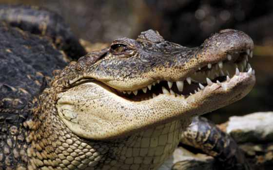 animales, full, крокодил, animal, salvajes, тварь, dangerous,