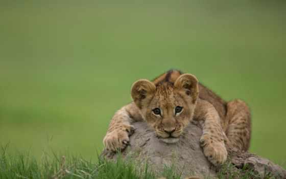 lion, молодой, lions, cats, beverly, joubert, art, prints, камень,