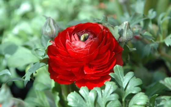 chrysanthemum, хризантемы, красные, latoro, cvety, каталог, роза, кухонных, winter, pp,