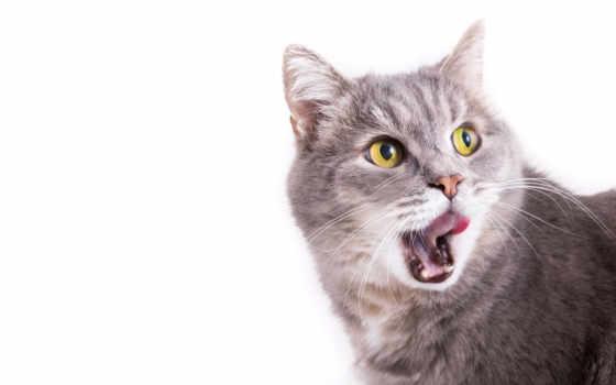 ,, кошка, small to medium-sized cats, млекопитающее, усы, felidae, мимика, european shorthair, domestic short-haired cat, хищник, полосатый кот,