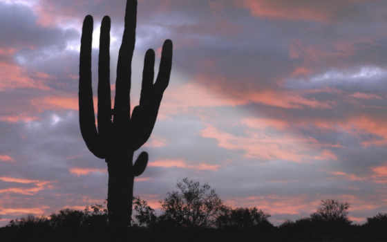 arizona, saguaro, cactus, giant, massage, desktop,