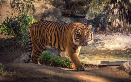 water, тигр, водопад, кот, скалы, животные, дикая,