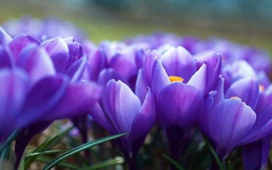 цветы, фиолетовые, свой