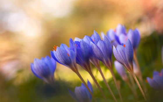 крокусы, сиреневые, cvety, весна,