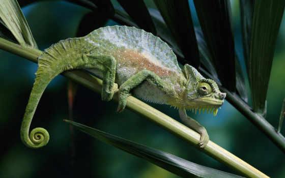 хамелеонов, chameleon, хамелеоны, фотографий, штуки, виды, видов, маскировки, everything, мастера,