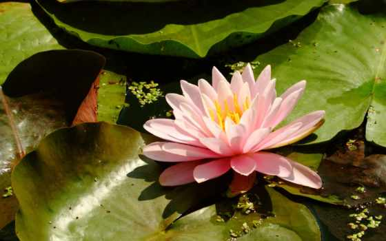lotus, коллекция, цветы, mantr, cvety, лепесток, water