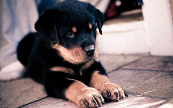 щенок, собака Фон № 6425 разрешение 2560x1600