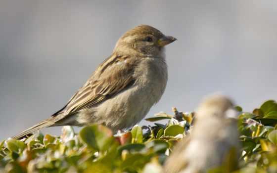 birds, воробей, branch