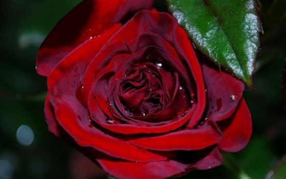 розы, анимация, часть, цветы, февр, роз, роза,
