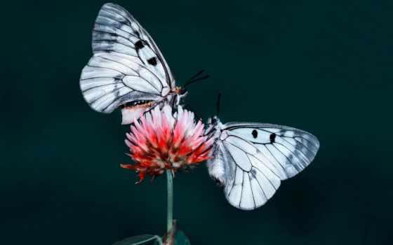бабочка, butterflies, два, desktop, цветы, flowers, high, качество, насекомое,