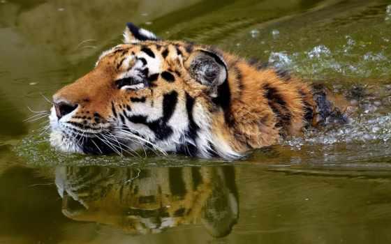 морда, тигр