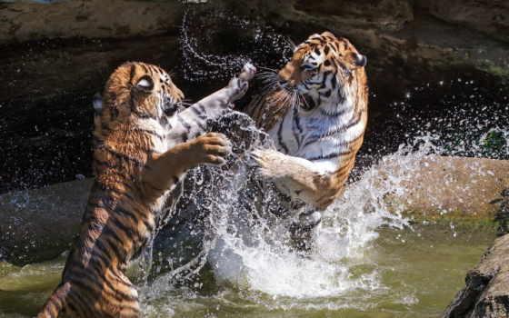 тигры, два, дерутся