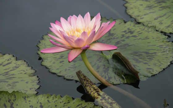 lily, water, листья