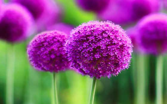 free, flowers, цветы, high, purple, allium,