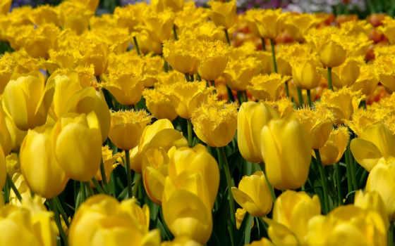 тюльпаны, желтые, cvety,