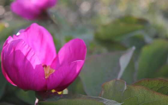 пион, цветы, id, розовый, awesome, весна, side, definition