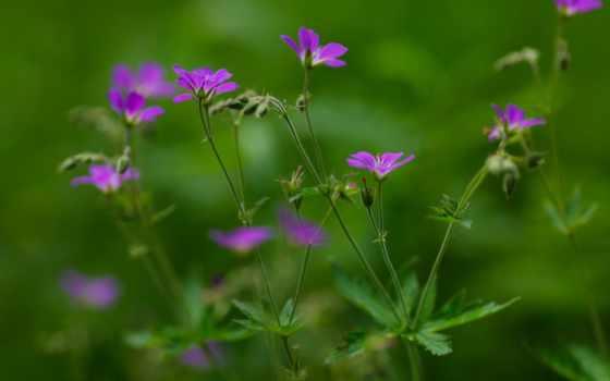 цветы, картинка, нежность