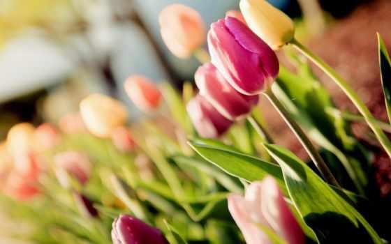 тюльпаны, cvety, makro