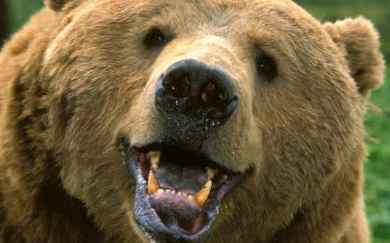 медведь, браун, зверь, бурого, медведя,