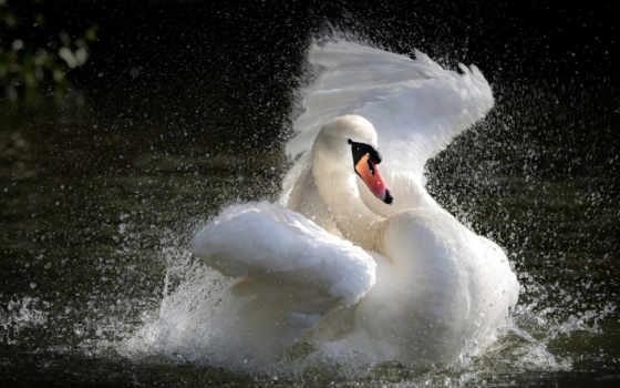 лебедь, birds, water, озеро, animal, птица, white, animals,