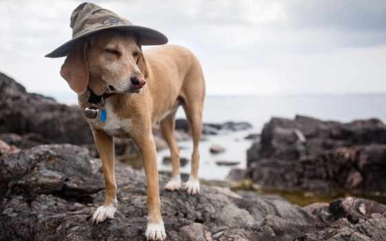 rock, собака, desktop