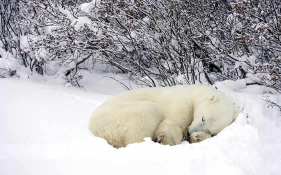 медведь, white, медведи