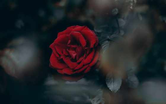 roses, цветы, garden, роза, red, you,