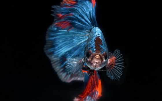 closeup, betta, bettasplendens, abstract, animal, fauna, elegant, bettafish, fin, fightingfish, цветущий,