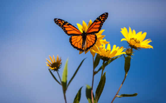 бабочка, цветы, бархатцы, animal, насекомое