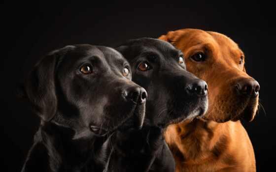 собака, fondo, negro, black, pro, perro, tre, тигр, три, mac