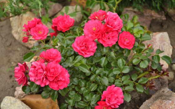 цветы, розы, flowers Фон № 70743 разрешение 3072x2048