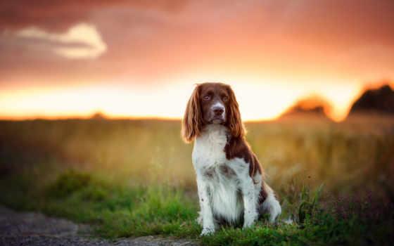 tapeta, psy, tapety, peter, pies, schlyter, закат, собака, zwierzęta, pulpit,