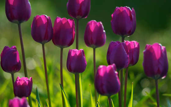 цветы, растения, трава, тюльпаны, цветки, утро, широкоформатные, фиолетовые, красивые,