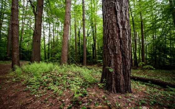 лес, дерево, ствол, trees, папоротник, могучие, land, природа,