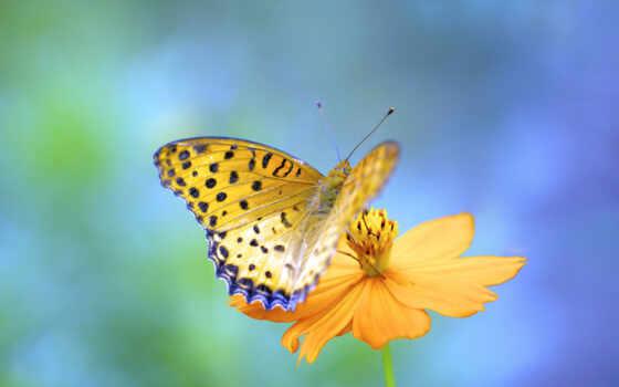 бабочка, природа, plan, большой, yellow, closeup, тег, cvety