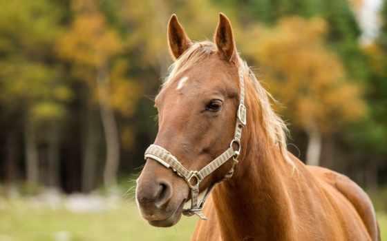 лошадь, морда, лошади