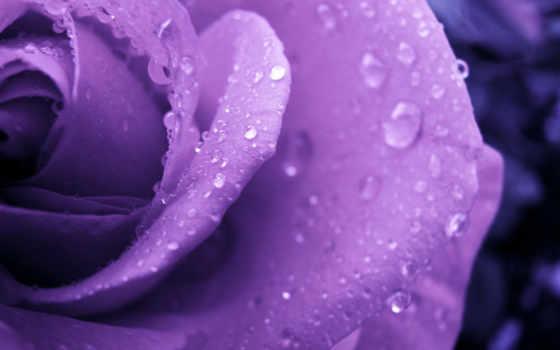 роза, розы, фиолетовая, капли, цветы, широкоформатные, роса,