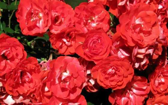 flowers, cvety, red