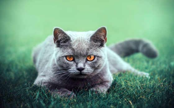 kot, mordka, oczy, brązowe, tapety, trawa, szary, коты, które,
