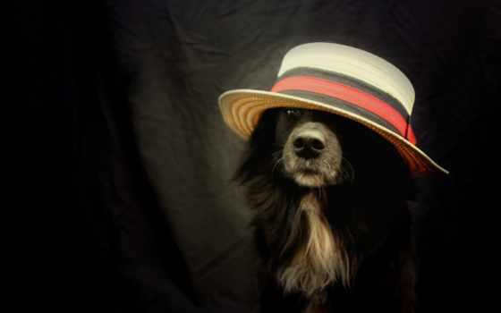 border, parede, papéis, колли, собаки, desktop, шляпки, красивые, широкоформатные, fundo,